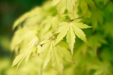 closeup of green maple leaves, blur effect, beginning of autumn
