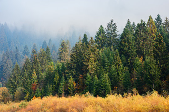 spruce forest in misty autumn weather. beautiful nature scenery on a sunny morning