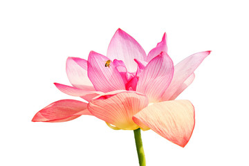 Garden Poster Lotus flower Pink lotus flower isolated on white background