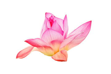 Montage in der Fensternische Lotosblume Pink lotus flower isolated on white background