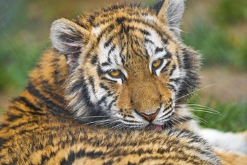Closeup of a cub tiger