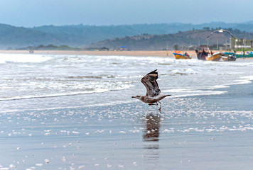 Seagulls at the beach taking flight and others flying, with the ocean and fishing town in the background. San Pedro, Manabi, Ecuador