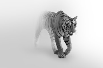 Tiger walking toward you in a foggy background