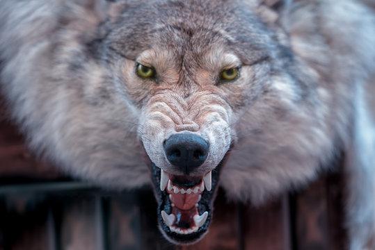 Closeup real wolf head skin texture.