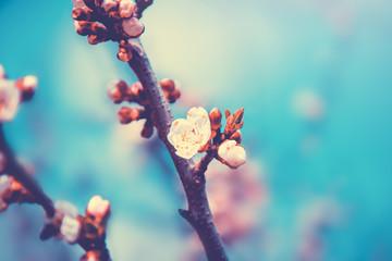 White flowers blossom in spring