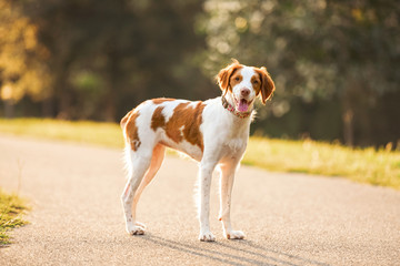 White and brown a Brittany spaniel outdoors at the park during summer, natural picture of the happy hunting dog outside