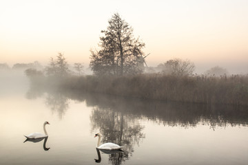 Swans swimming in river