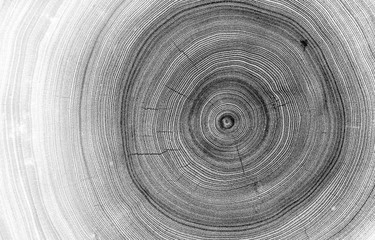 Detailed macro view of felled tree trunk or stump. Black and white organic texture of tree rings with close up of end grain.