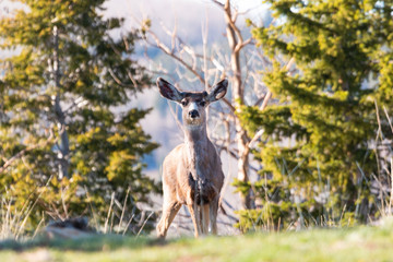 Deer on a Warm Colorado Spring Morning