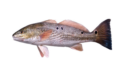 Fish  Red Drum (Sciaenops ocellatus) with four black dots. Isolated on white background Fototapete