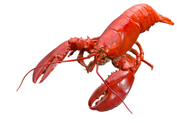 Close up steamed Canadian Lobster on isolted white background, Red Canadian Lobster, Cooked lobster