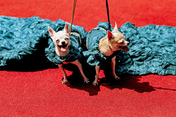 Chihuahua puppies pose for the cameras at an event that celebrates World Animal Day in Quezon City