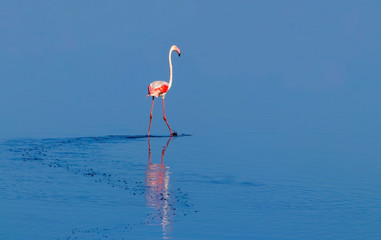 Foto op Canvas Flamingo Wild african birds. One bird of pink african flamingo walking around the lagoon and looking for food