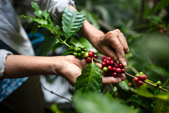arabica coffee berries with agriculturist handsRobusta and arabica coffee berries with agriculturist hands, Gia Lai, Vietnam