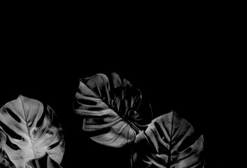 tropical black monstera palm leaves tree background