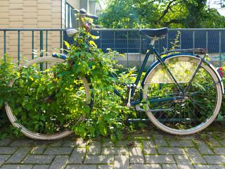 altes verrostetes Holland Fahrrad, am Zaun angeschlossen und von Pflanzen überwuchert