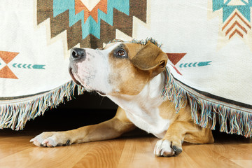 The dog hides under the sofa and looks up frightened. The concept of dog's anxiety about thunderstorm, fireworks and loud noises. Pet's mental health, excessive emotionality, feelings of insecurity.