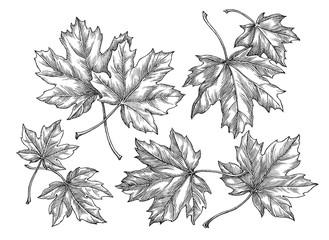 Maple leaves, hand drawn illustration, decor elements.