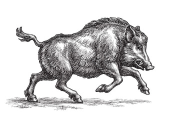 Wild boar, hand drawn illustration in the engraving style.