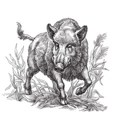 Hand drawn black and white illustration, wild boar.