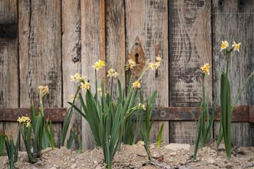 Papiers peints Narcisse petites jonquilles et fleurs devant une barrière en bois
