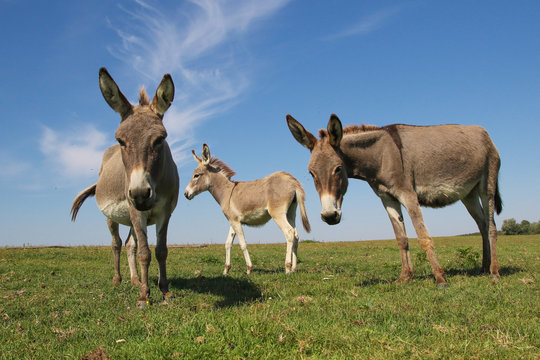 Three funny curious donkeys is staring in the meadow