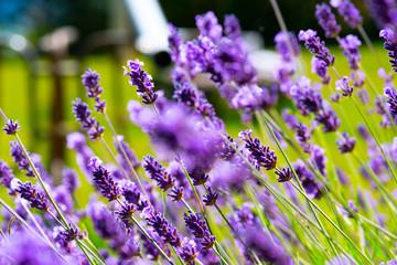 Purple lavender flowers in a field.