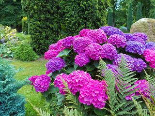 rosa, violette und blau blühende Hortensie im Garten