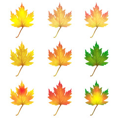 Realistic maple leaves isolated on white background
