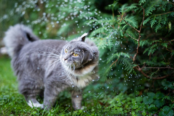 funny picture of young blue tabby maine coon cat shaking it's head in the fountain of a lawn sprinkler outdoors in the garden