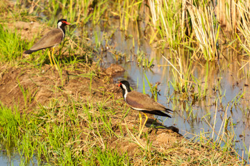Red-wattled lapwing birds searching food in paddy field in natural sunlight