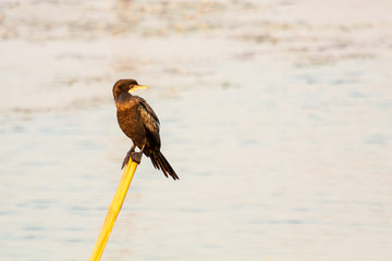 Great Cormorant sitting and looking at one side on a branch in natural sunlight
