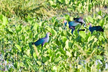 Purple Swamphen (Porphyrio porphyrio) birds searching food in mash land