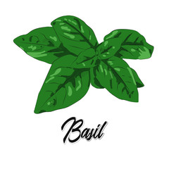 Basil on a white background. Food vector image. Hand drawn basil.