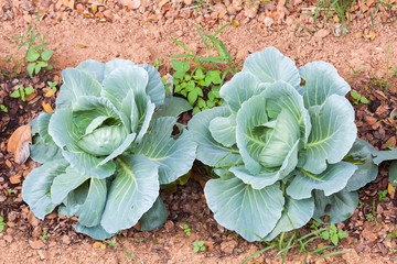 Top view of Cabbage plants growing in home vegetable garden in soil