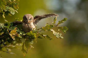 Eurasian scops owl (Otus scops) - Small scops owl on a branch in autumnal forest, its natural habitat