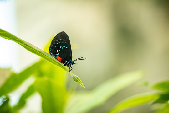 An Atala Butterfly resting on a green leaf.