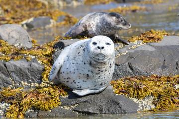 Schöne gefleckte Seerobbe, Spotted Seal - Robben lieben es, sich am Ufer zu sonnen