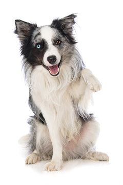 Border collie dog on white background lift the paw