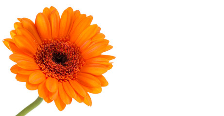 Garden Poster Gerbera orange gerbera flower isolated on white background