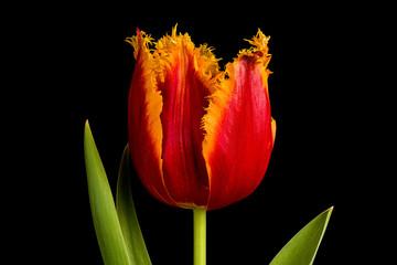 Single orange tulip flower isolated on black background