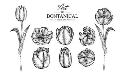Sketch Floral Botany Collection. Tulip flower drawings. Black and white with line art on white backgrounds. Hand Drawn Botanical Illustrations.Vector.