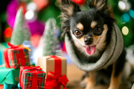 cute black color  small dog sit relax near present gift box and christmas tree festive background concept