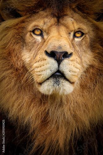 Aufkleber Detail portrait lion