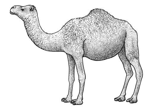 Arabian camel, dromedary illustration, drawing, engraving, ink, line art, vector