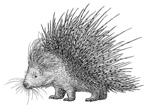 Porcupine illustration, drawing, engraving, ink, line art, vector