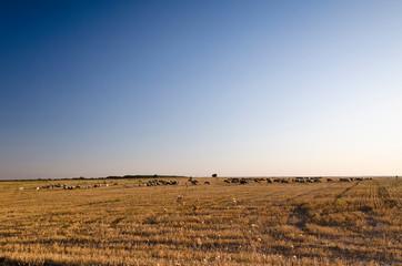 Herd of goats in the autumn golden field