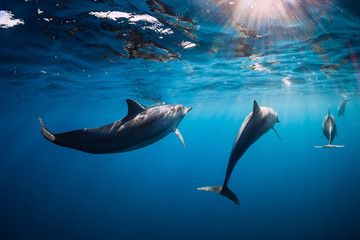 Tuinposter Dolfijn Spinner dolphins underwater in blue ocean with light
