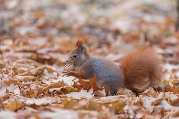 Red Squirrel in autumn leaves eating nuts