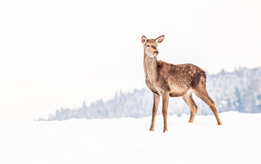 Foto auf Leinwand Reh roe deer in winter snow